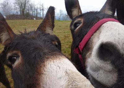 Les ânes curieux