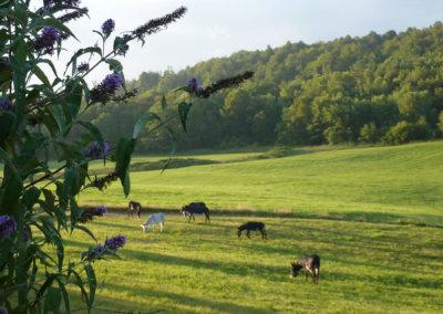 Les ânes à Manaska dans le prés